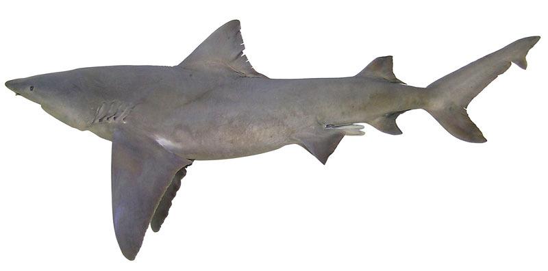 Ikan Yu sungai - Glyphis garricki