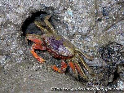 Orange Signaller Crab (Metaplax elegans)