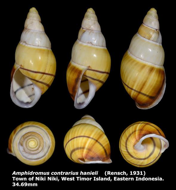 Amphidromus contrarius hanieli 34.69mm