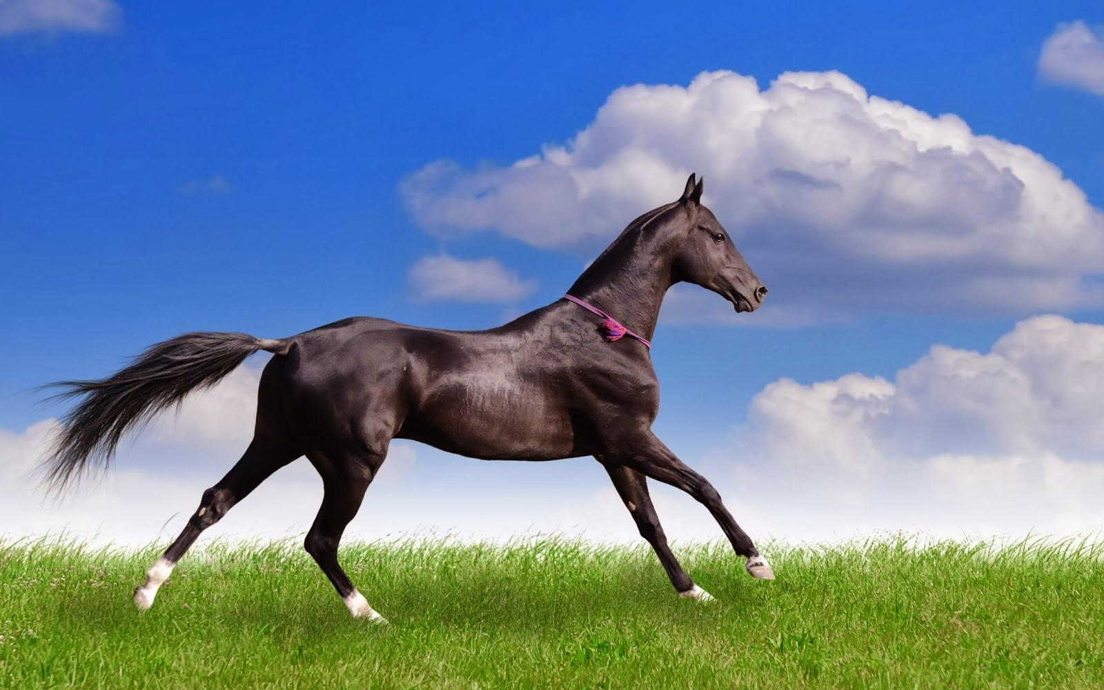 Must see   Wallpaper Horse Pinterest - Black+Horse+hd+Wallpapers+2013_1  2018_883946.jpg