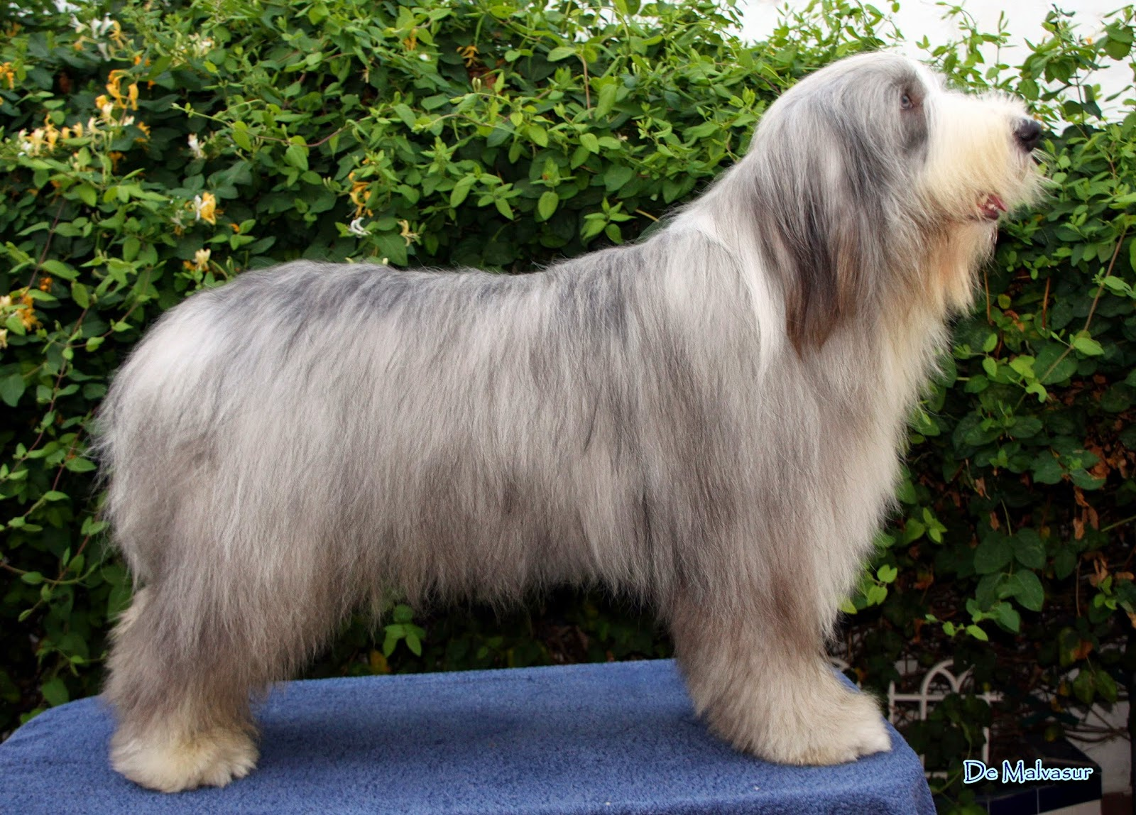 bearded collie de
