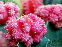 pink grafted cactus