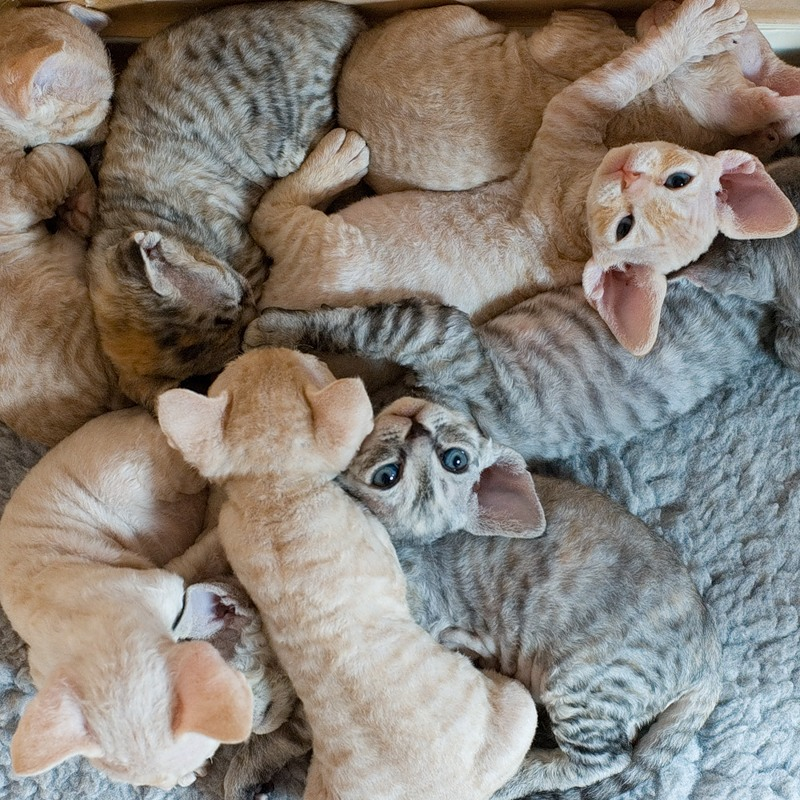 Average Litter Size of Devon Rex Cats