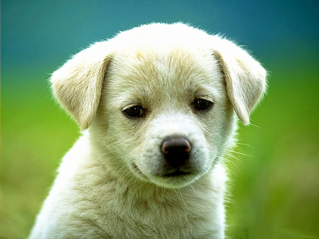 white cute sad little dog pic