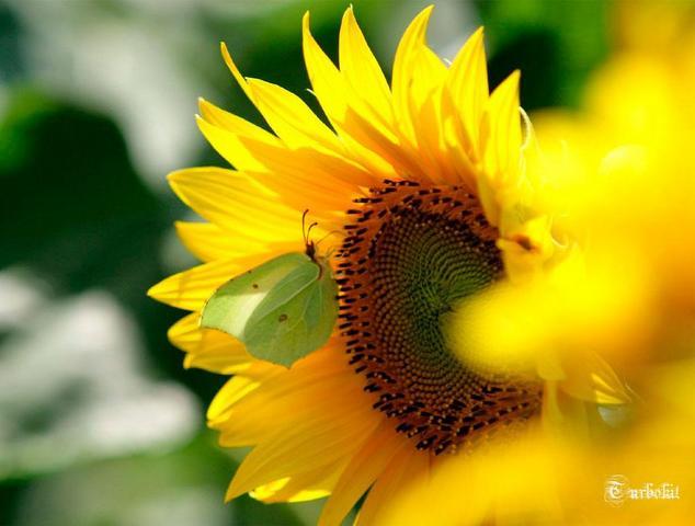 foto gambar bunga matahari dihinggapi kupu-kupu
