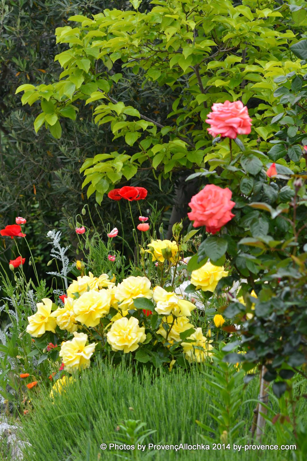 rose orande et jaune,patio