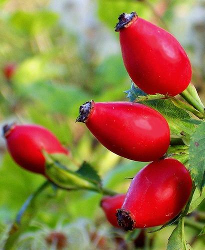 Hip fruit