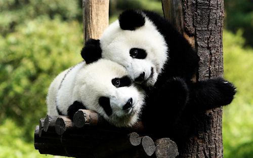 Osos panda enamorados - Panda bears in love