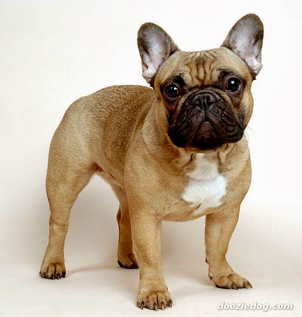 French Bulldog HD Wallpapers