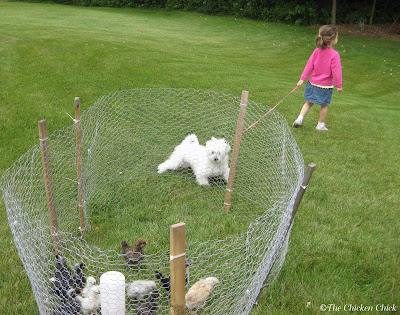 Temporary Chicken wire playpen for chicks