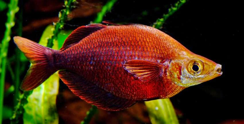 Tami River rainbow fish Glossolepis pseudoincisus Care and ...