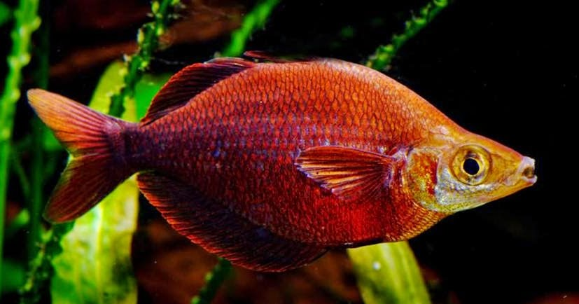 Chennai free classifieds salmon red rainbow fish care for Rainbow fish care