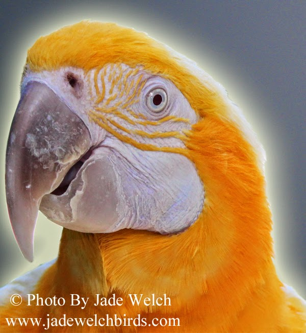 lutino blue and gold macaw jade welch jadewelchbirds