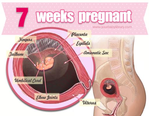 7 uger gravid