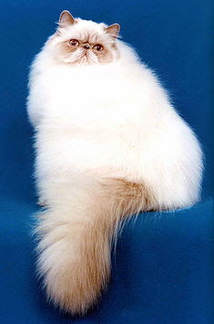 Kucing Himalayan jenis Peke