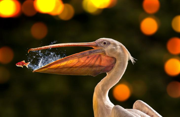 Pelicano e peixe fugindo de sua boca