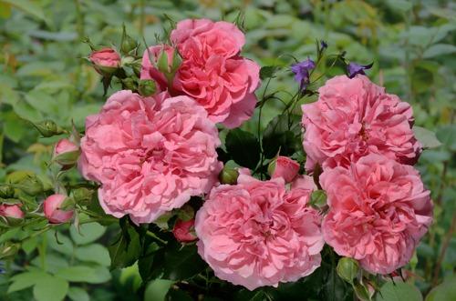 Rosarium Uetersen rose сорт розы фото