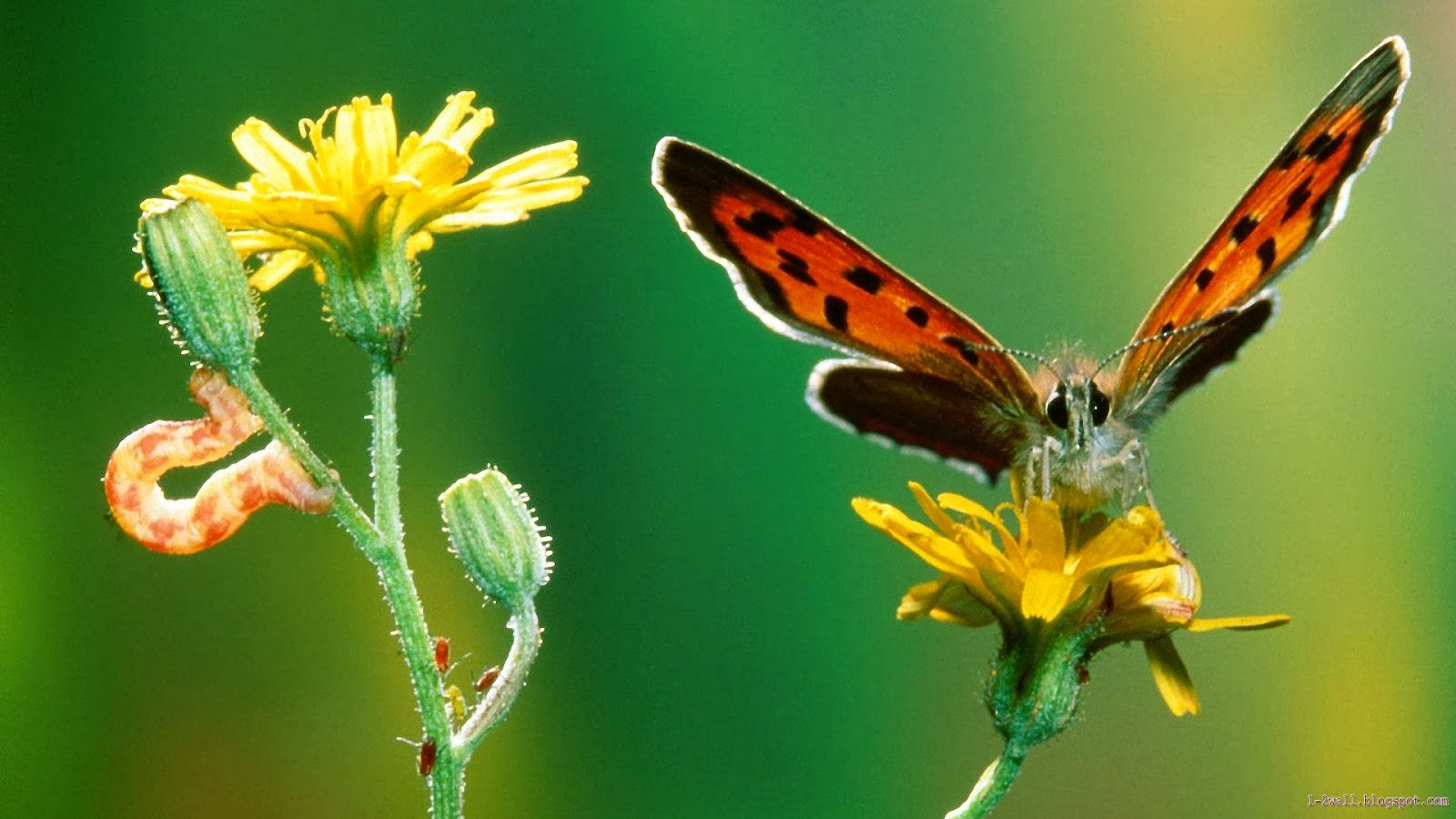 Colorful butterfly wallpapers butterfly wallpapers nice for Butterfly wallpaper for walls