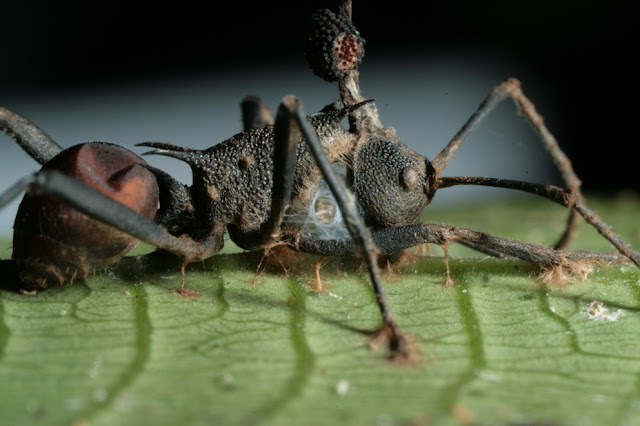 Fungus That Controls Zombie-Ants Has Own Fungal Stalker