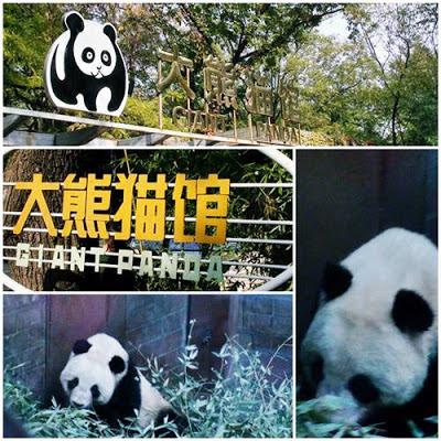 Beruang Panda - Giant Panda In Action - Beijing Zoo