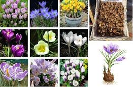 Saffron Crocus Sativus Bulbs