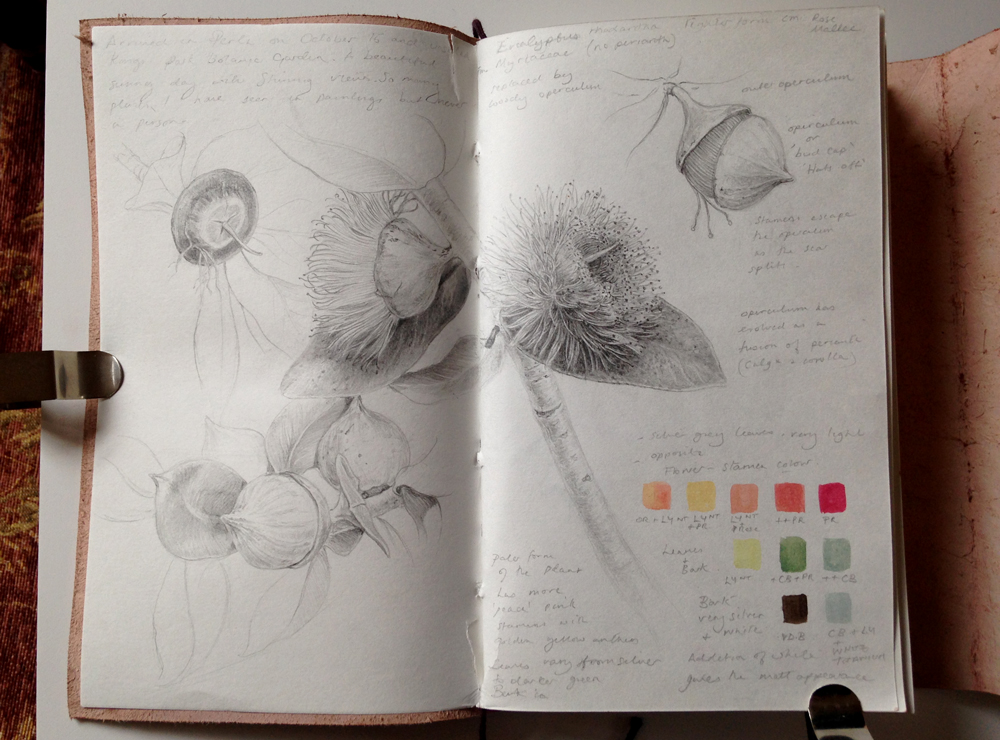 Eucalyptus formosa sketchbook pages