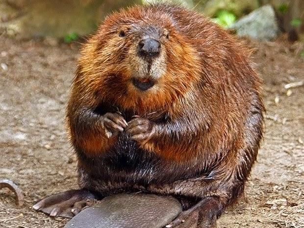 http://news.nationalpost.com/2014/09/05/vicious-beaver-attacks-halifax-snorkeler-off-nova-scotias-coast/