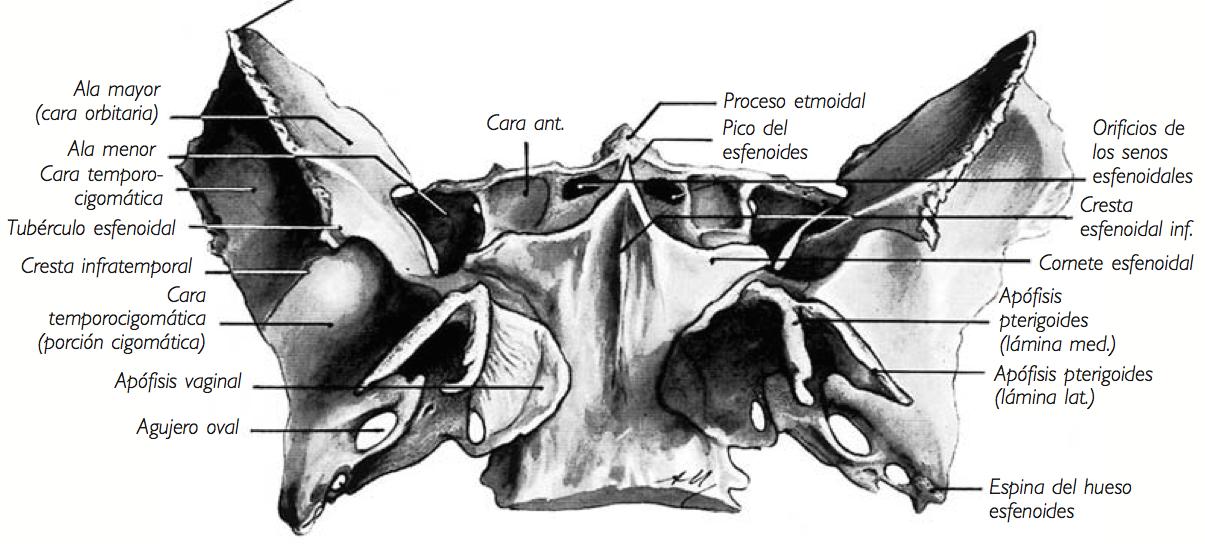 Morfofunción: Cabeza y cuello: Esfenoides