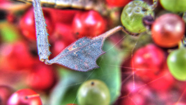 Leaf-Footed Bug - Amazing Insect Camouflage