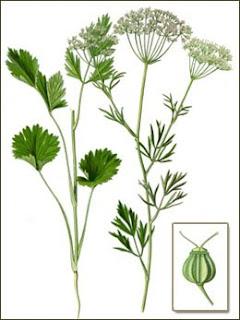 Anis, Pimpinella anisum