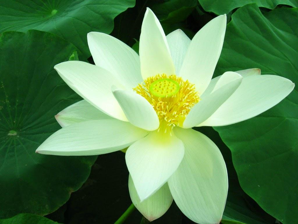 ảnh hoa sen trắng đẹp tinh khôi
