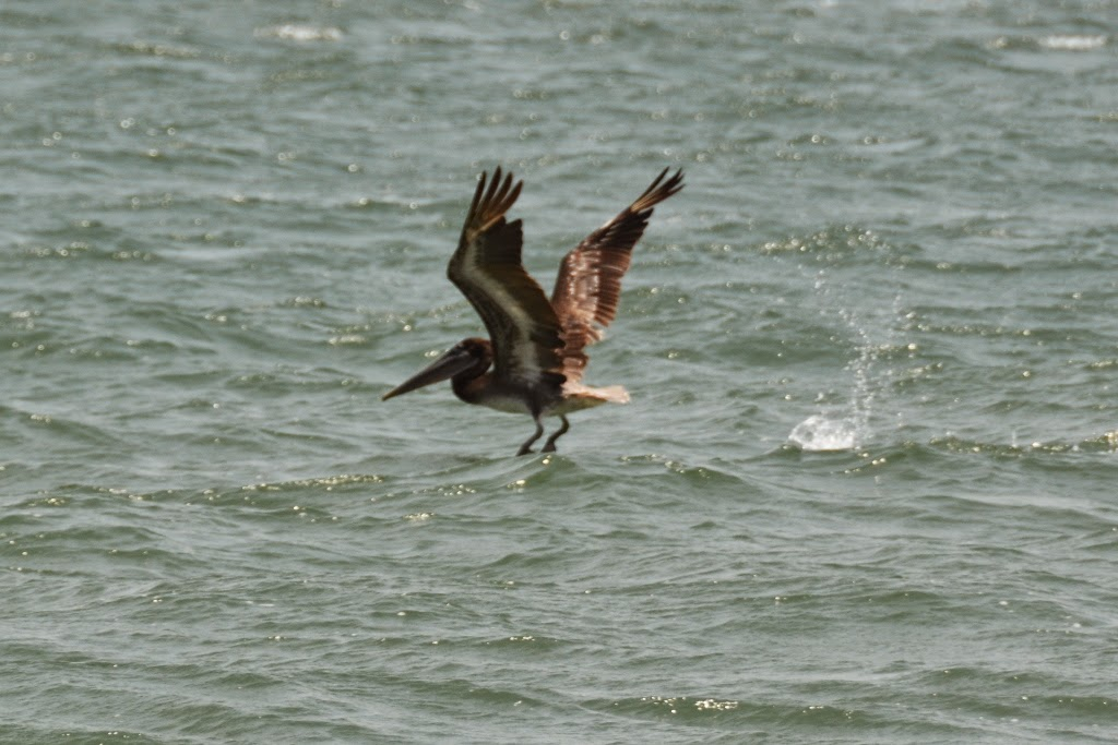 Bocagrande Beach Cartagena Pelican