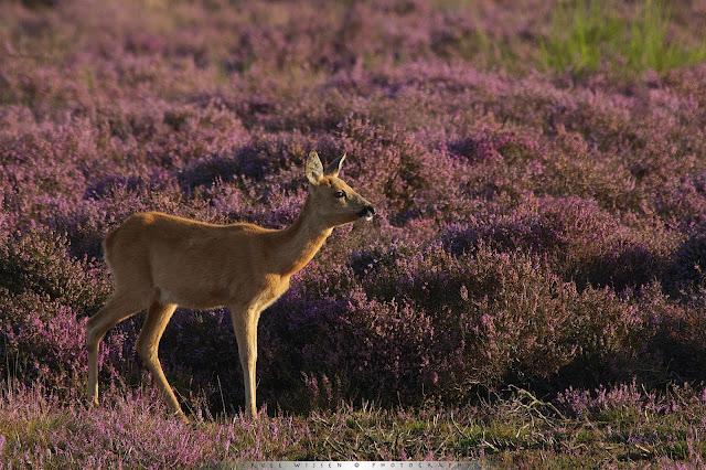 Ree -Roe Deer - Capreolus capreolus