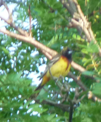 yellow, brown, and black oriole