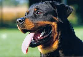 cachorro mais agressivo