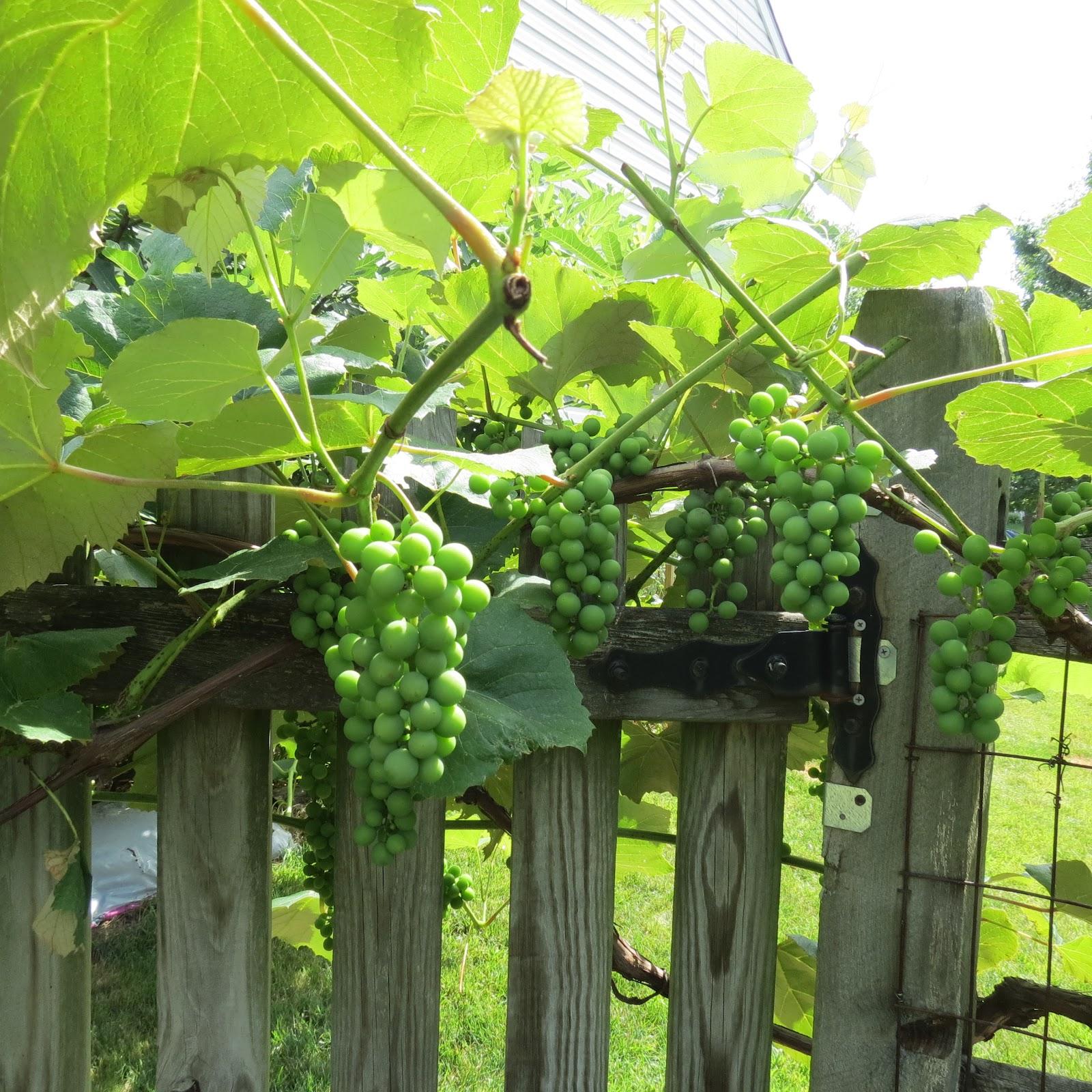 grape vine garden design ma