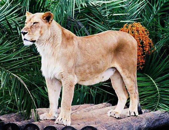 Que significa soñar con leona