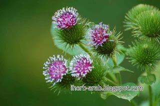 نبات علاج اكزيما