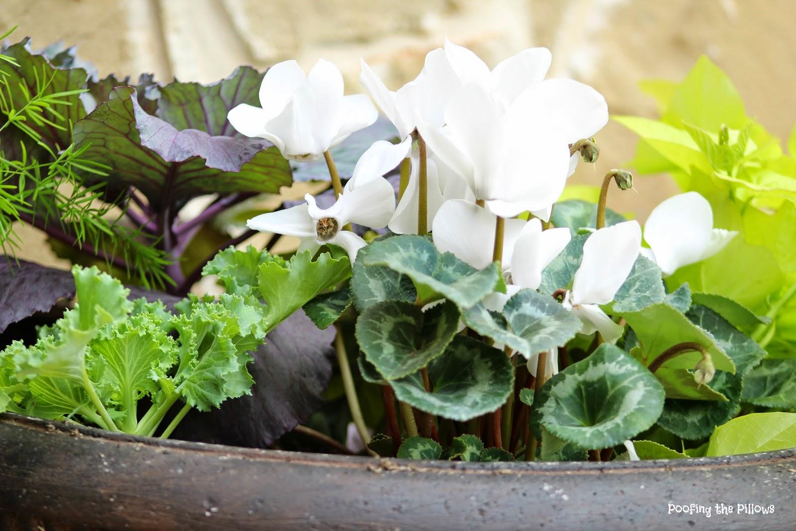 Fall planters, cyclamen