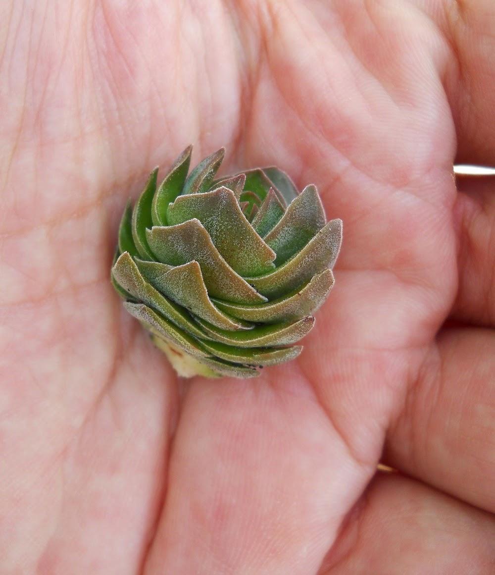 injerto de cactus templo de buda