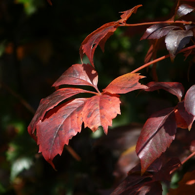 Virginia Creeper is a native vine that grows distinctive fiveleaf bunches