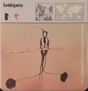 Blog Safari Club, la Loddigesia, un maravilloso colibrí muy localizado