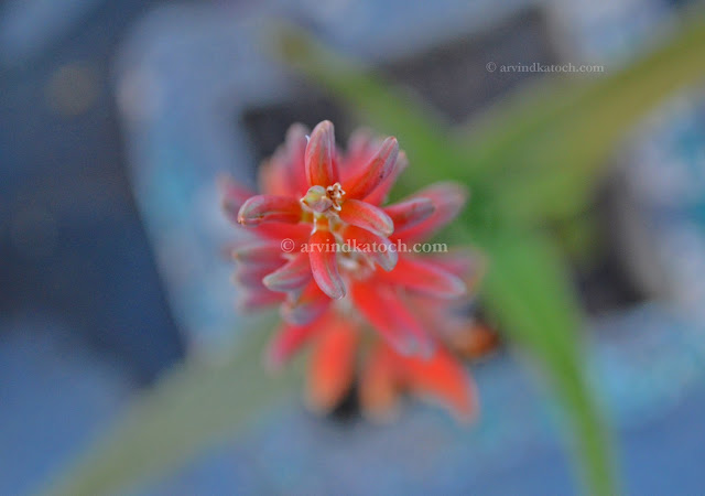 Aloe Vera, Flower, Beautiful, Aloe Vera Flower