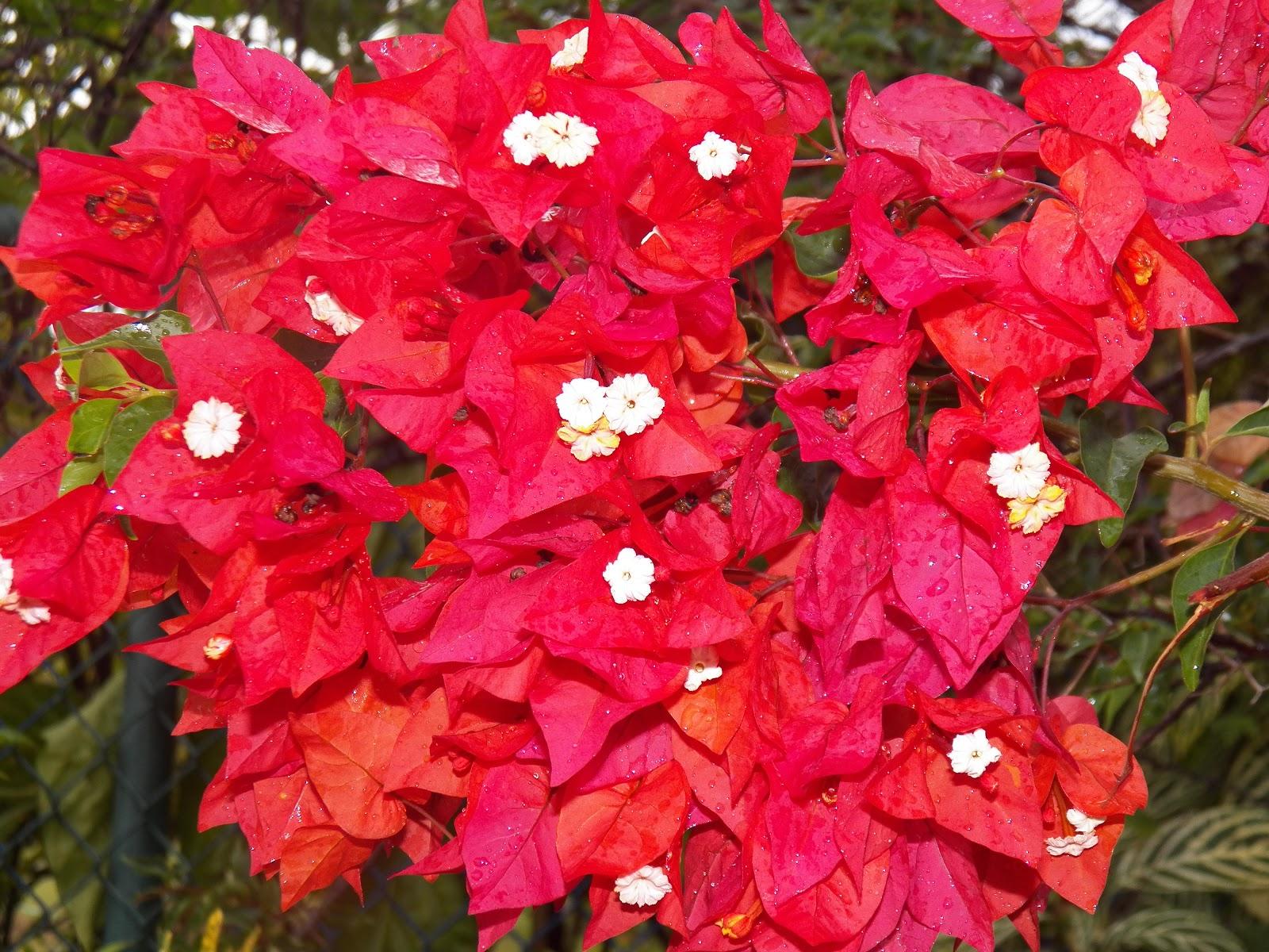Mis plantas en panam veraneras en flor la buganvillia for Como se llaman las plantas ornamentales