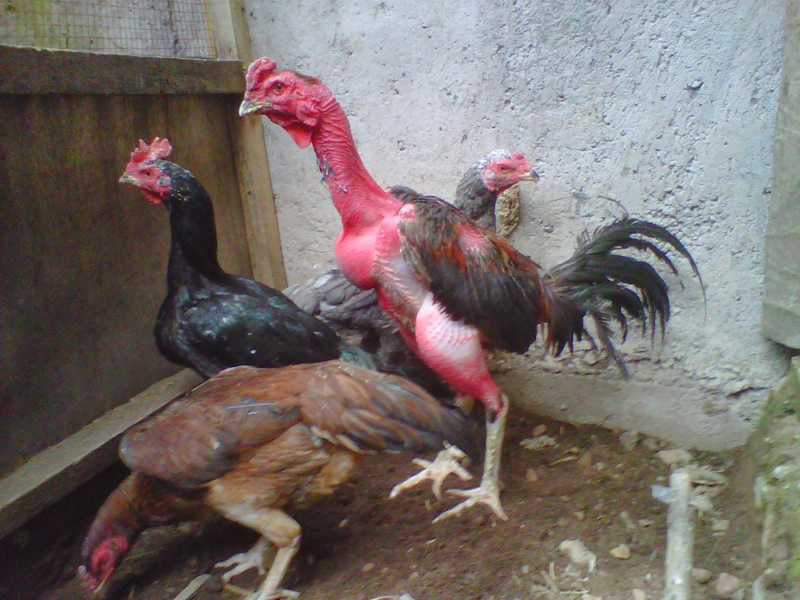 foto hewan - gambar ayam bangkok umur 3 bulan