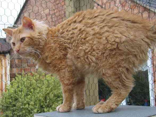 LaPerm Cat Pictures