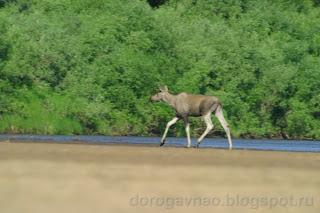 Бедные животные не зная куда деться от кровопийц находят спасение в воде