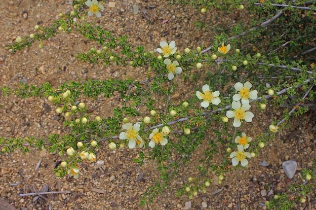 Otay Mountain Lotus 4/7/13 Otay Mountain Ceanothus