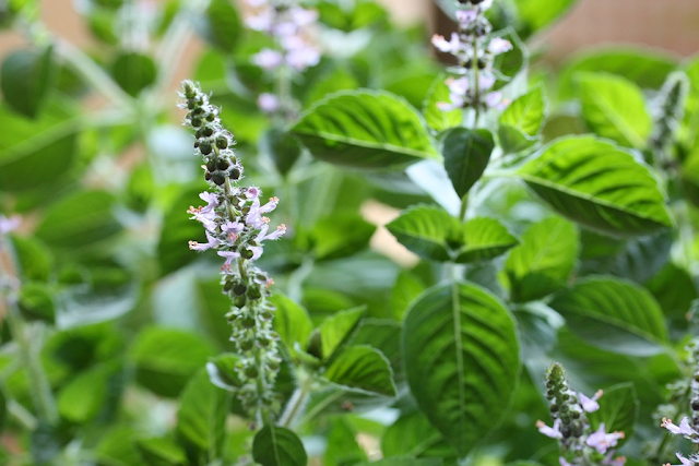 Health Benefits of Tulsi