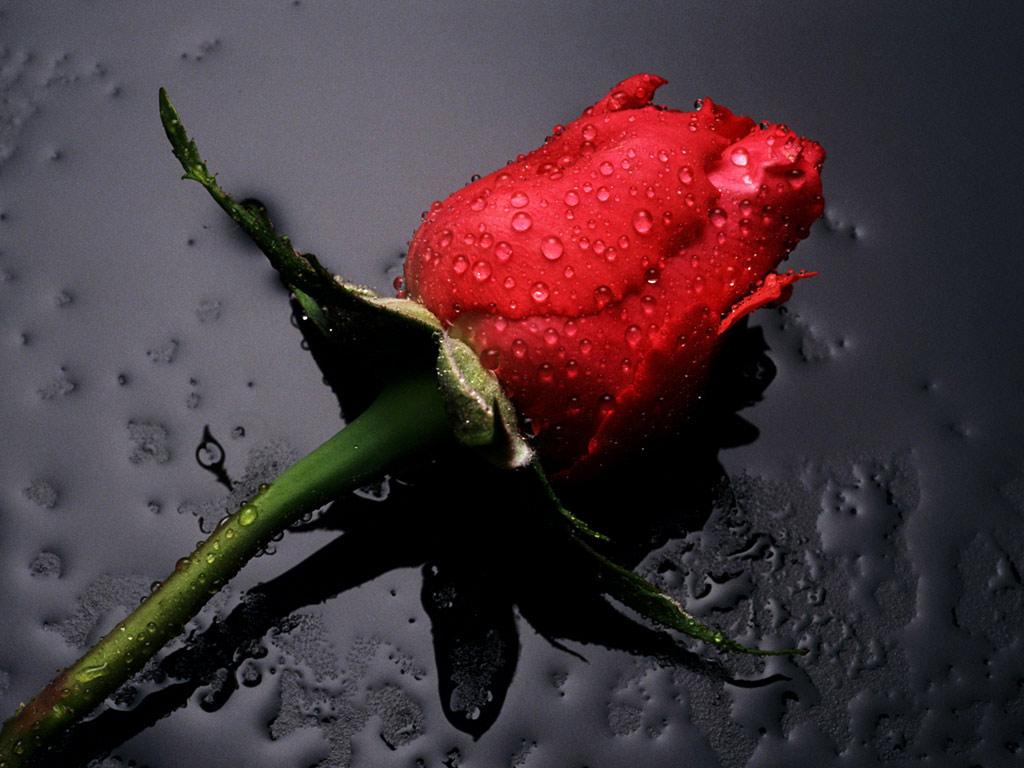 http://1.bp.blogspot.com/-qputFBkgLuU/TZwr686VYMI/AAAAAAAAAVs/Xmtl_hs1haQ/s1600/Red_Rose_flowers.jpg